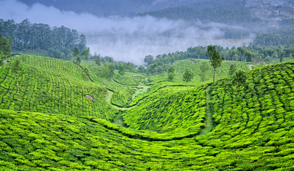South Indian Coffee | Munnar