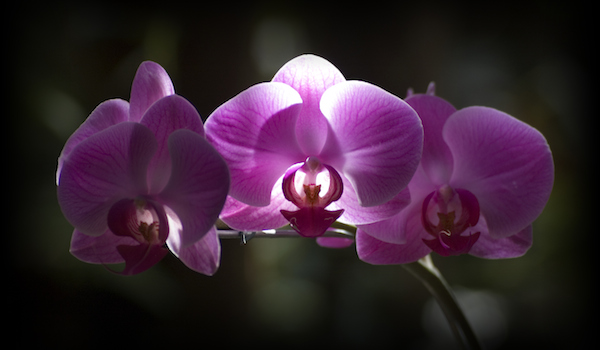 Illuminated Orchid