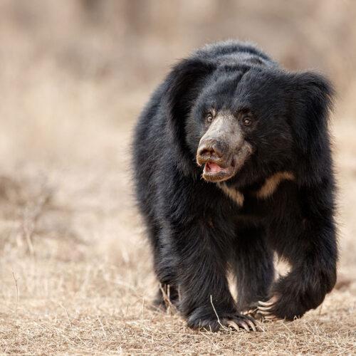 greaves_tree_of_life_jaagir_lodge_sloth_bear