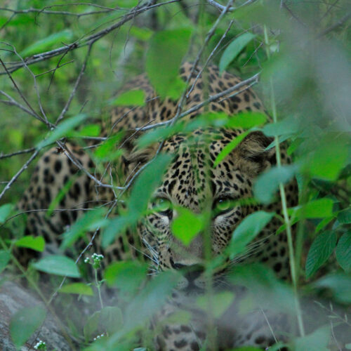 noel-rodrigos-leopard-safaris-leapord-in-bushes