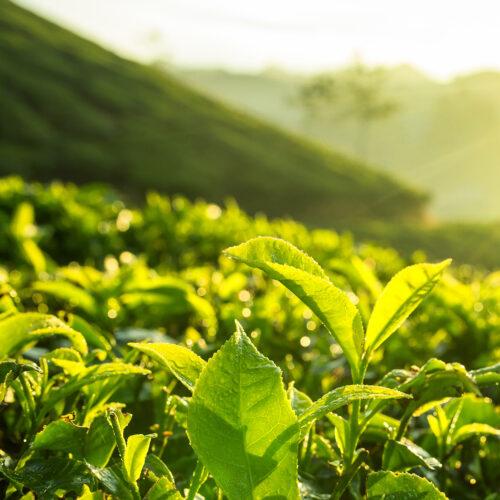 tea plantation at the tea bungalow