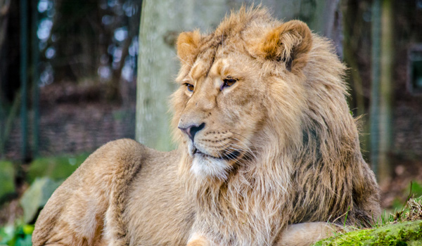 asiaticlion