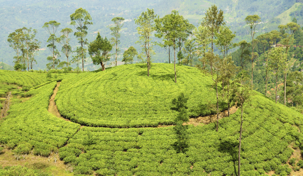 darjeeling-images_tea-plantation-hill_credit-nevarpp_istock_thinkstock-http___www-thinkstockphotos-co