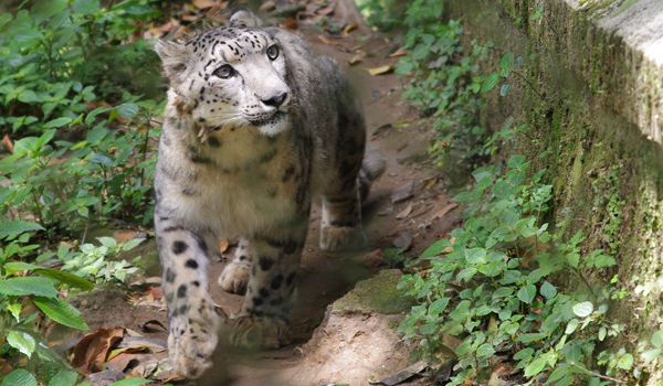 darjeeling_snow-leopard_credit-flickr-user-elkhiki-https___www-flickr