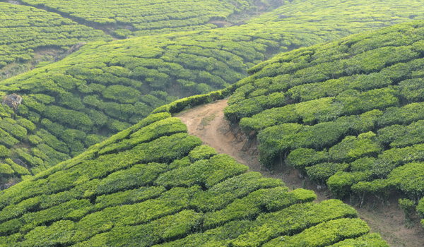 greaves_restaurants-in-kerala_plantation_credit-rchphoto-istock-thinkstock-copy