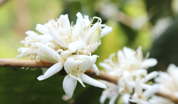 White coffee blossoms.