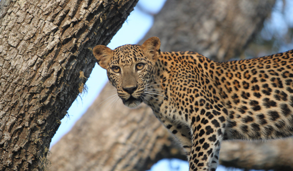 Summer Retreats in Sri Lanka | Noel Rodrigo's Leopard Safaris