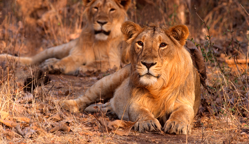 National Parks and Sanctuaries in India | Gir Forest National Park