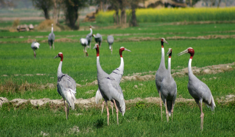 Chambal Safari Lodge | Sarus Cranes