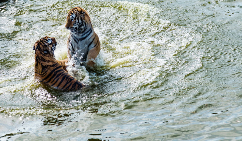 TOFTigers | Tigers in lake