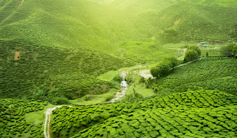 What to do in Kandy | Tea plantation