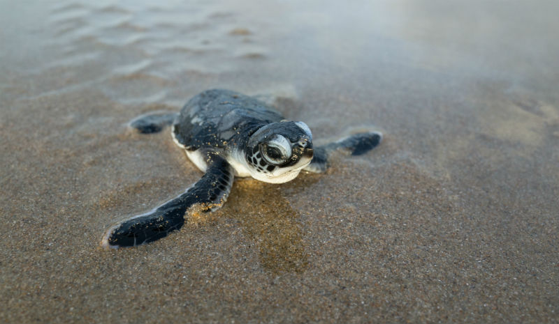 Best Beaches in India | Hatching green turtle