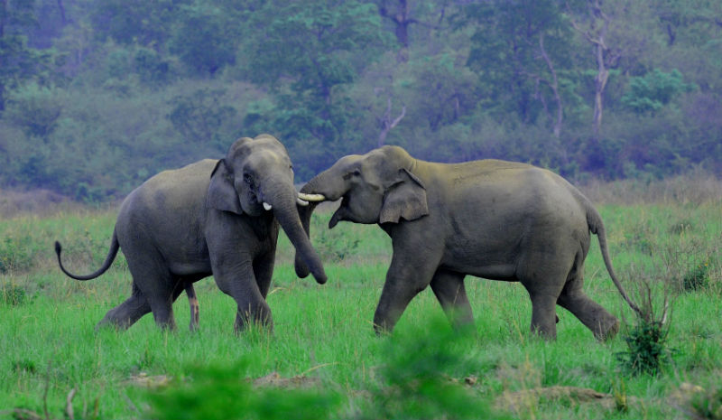 Jims Jungle Retreat_Asian Elephant MKS_Copyright Manoj Sharma