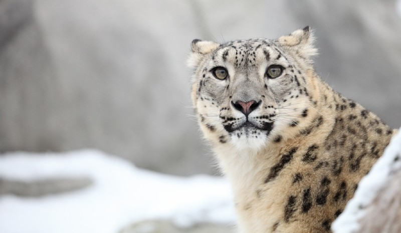 19 Indian Experiences | Snow Leopard